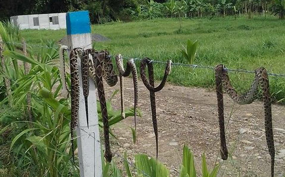 Miles de culebras venenosasaparecen en Sarapiquí