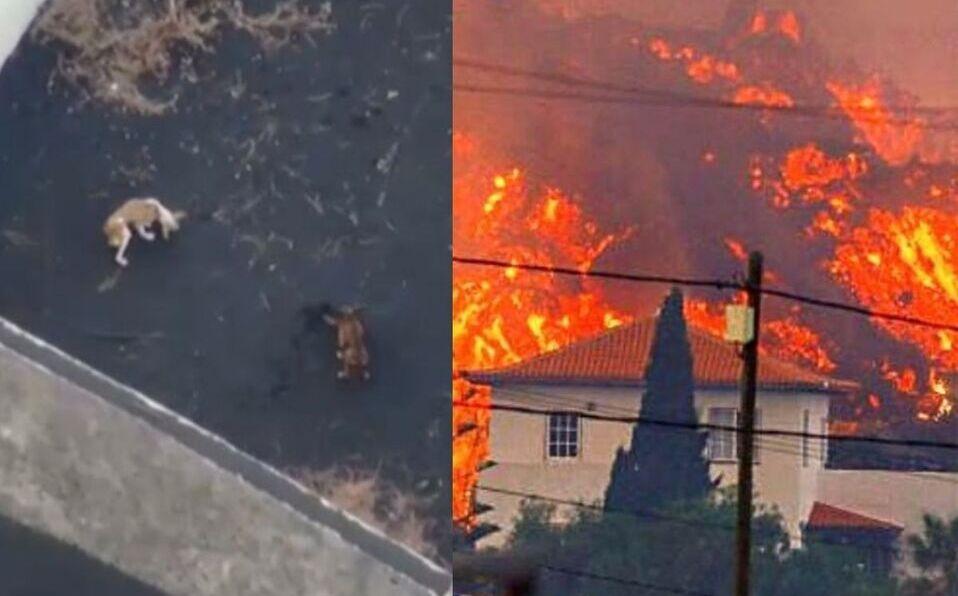 Drones alimentan a perros atrapados por lava. (Foto: Cortesía)