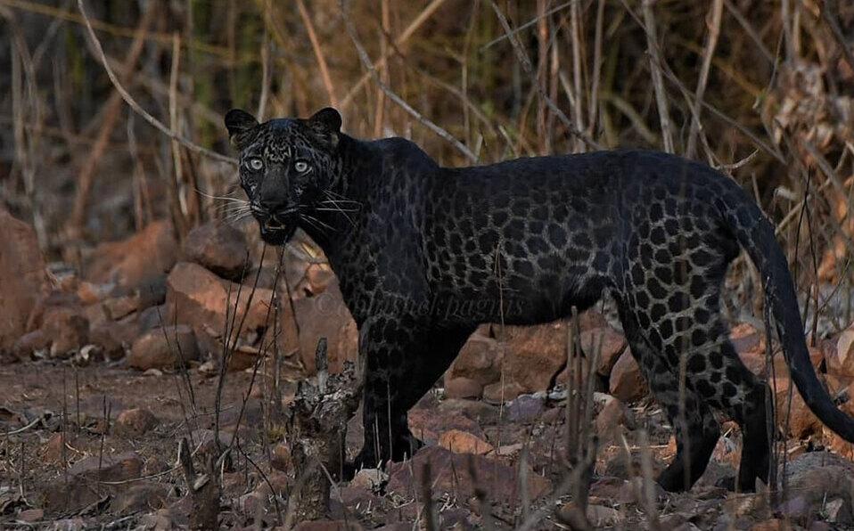 Avistan extraño leopardo negro durante un safari en India. (Foto: Instagram / @abhishek.pagnis)