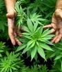 PAC propone proyecto para lacomercialización de la marihuana. (Foto: Referencia)